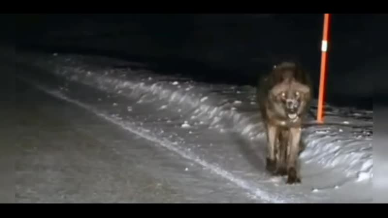 Голодный волк вышел на дорогу в поисках добычи