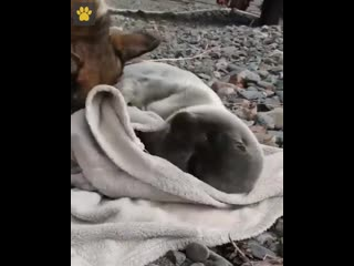Огромную популярность получило видео с Байкала с малышом-тюленем и собакой, которая ухаживает за ним, как за своим детенышем