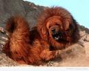 Самой дорогой собакой современности является тибетский мастифф.