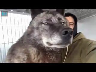 Волкособ. Это не стандартная порода собак, а очень редкий гибрид волка и немецкой овчарки