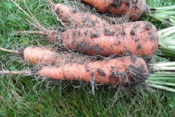 Уже много лет сажаю морковь и осенью, ем свою морковку уже в начале июня.