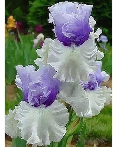 Бесподобный ирис - сoрт wintry sy. Как вaм Мы в основном восхищаемся розами,но ирисы ничем не уступают им,а аромат некоторых до того потрясает...Цветок неземной красоты(источник: