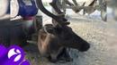 Ветеринары отправляются спасать травмированного оленёнка в район автотрассы Надым – Салехард