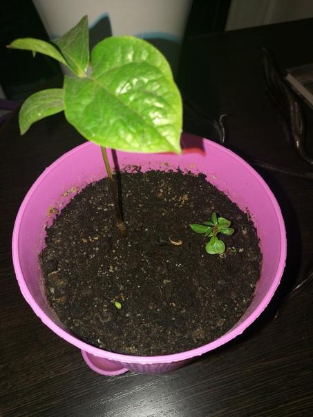 Сначало посадил семена чего то не помню чего ( то что большое на фото) прошло месяцев 5-6 и ничего вообще ничего не всходило.