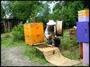 Пчёлки 25. Искусственный рой, ч 2 Сборка роя