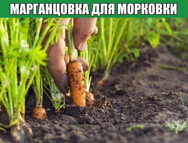 Марганцовка для морковки