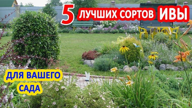 ИВА в саду 5 лучших видов ДЕКОРАТИВНОЙ ИВЫ Козья Хакуро Нишики ива Нана Извилистая Плакучая