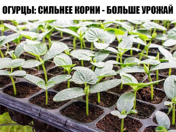Огурцы: сильнее корни - больше урожай