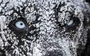 Многие собаки могут спать на снегу, не испытывая дискомфорта…