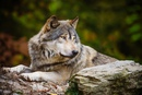 Прикаспийский волк — так западными биологами называется подвид серого волка…