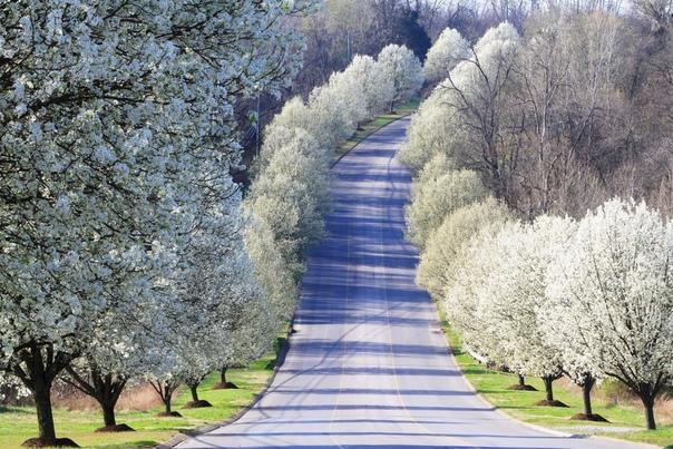 Груши, цветущие вдоль дороги.