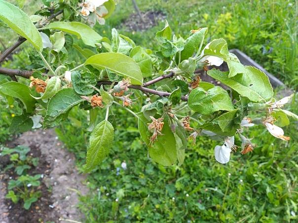 Помогите пожалуйста определить чем болеет яблоня и как её сейчас лечить, она обработана Алатаром, есть завязи с горошину 1. Некоторые листики жеванные рифленные, деформированные, есть какой то