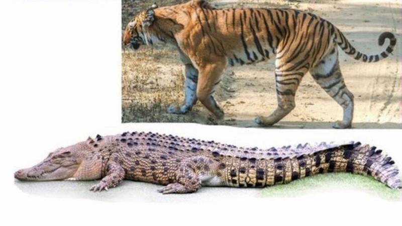 Тигр против крокодила все о видео с нападением тигрицы Мачли на болотного крокодила