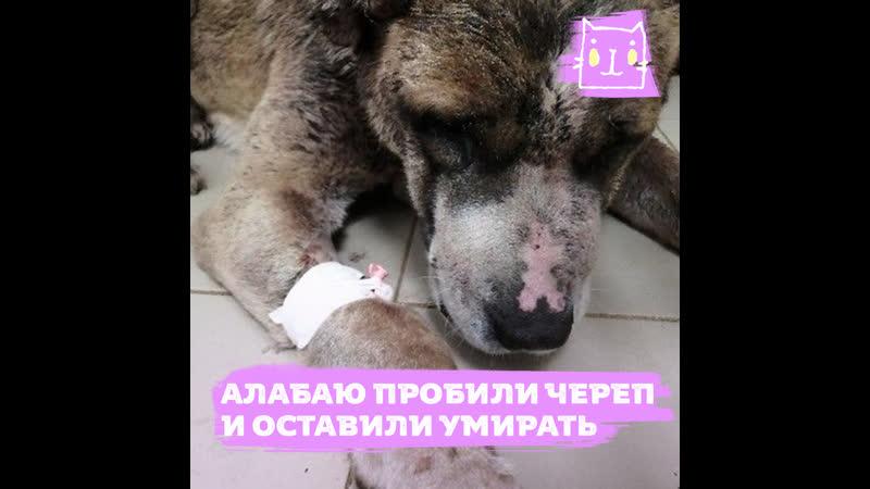 Глухой алабай ослеп после жестокого избиения