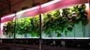 Выращивание огурцов в гараже за 56 дней