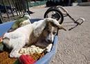 """Этот пес живет в Иордании, в переводе его имя означает""""белый"""" ."""
