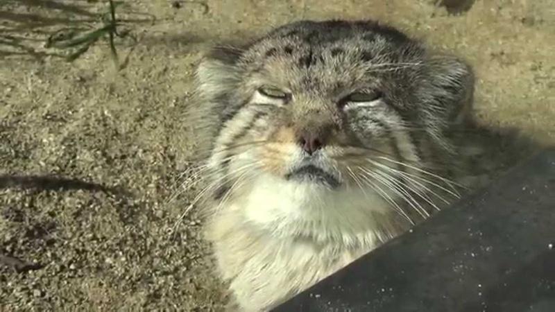 日にあたるマヌルネコ【神戸市立王子動物園にて141209】Pallas's Cat@Kobe Municipal Zoo(Oji Zoo)