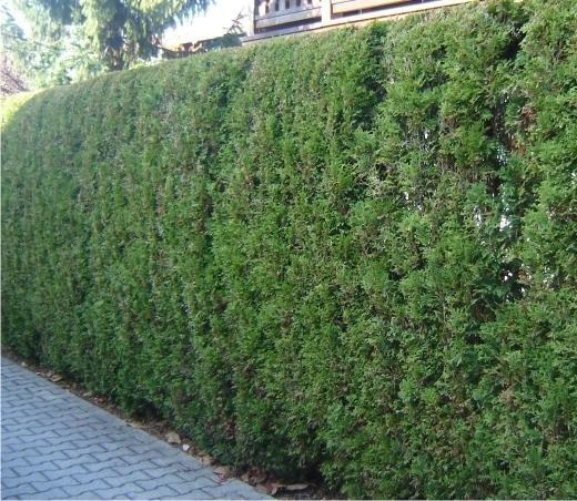 Так выглядит зеленый забор из можжевельника!