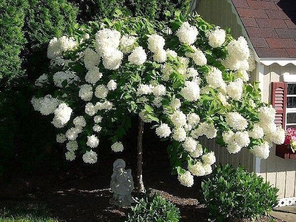 Пять причин посадить белую гортензию.