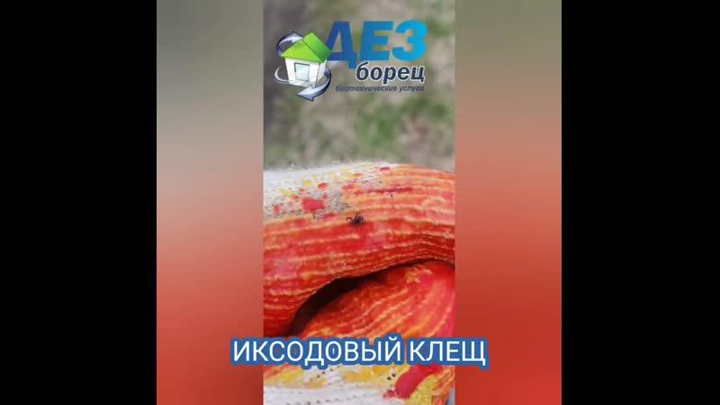 ИКСОДОВЫЙ КЛЕЩ.mp4