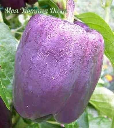 ВОСЕМЬ ЛУЧШИХ СОРТОВ РАННЕГО СЛАДКОГО БОЛГАРСКОГО ПЕРЦА 1.Атлантик F1Гибрид крупноплодный ранний. Растение высотой 90-100 см. Плоды этого перца темно-красные, вытянутые, очень большие(20 х 12