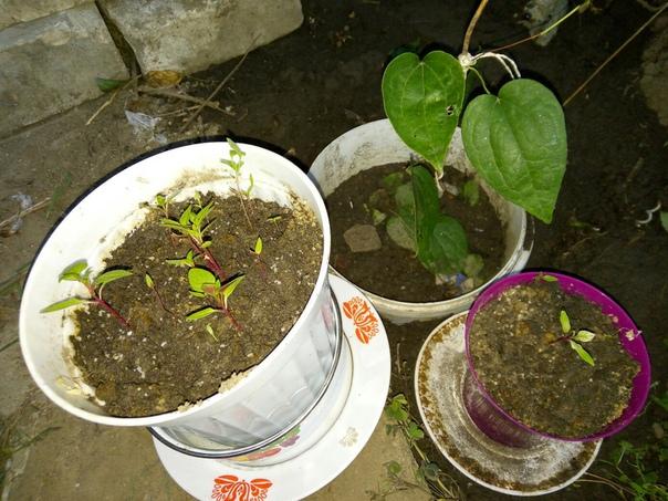 Доброго времени суток, подскажите пожалуйста подробную процедуру пошагово как посадить и вырастить семена клематиса дома Обьясните пожалуйста как после стратификации семян можно делать их