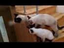 Как три тайских котика играли с дразнилкой на ступеньках лестницы Тайские кошки это чудо Funny C