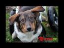 Друзья! Просим помощи на транспортировку наших тяжёлых собак в СПб