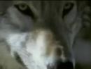 Плачет душа одинокого волка