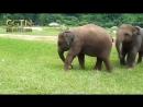 Два молодых двухлетних слона устроили футбольный поединок в Чиангмае Таиланд