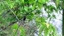Asian fairy bluebird Голубая ирена Irena puella