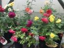 садовые розы от Плодородия