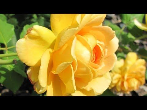 Обрезка роз в июле плетистые почвопокровные чайно гибридные
