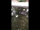 Черная Лебедь