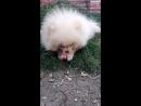 Щенок Померанца 1 5 кг ест куриную голову