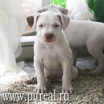 pitbull apbt pitreal kennel питбуль апбт питбультерьер белый питбуль щенок пит