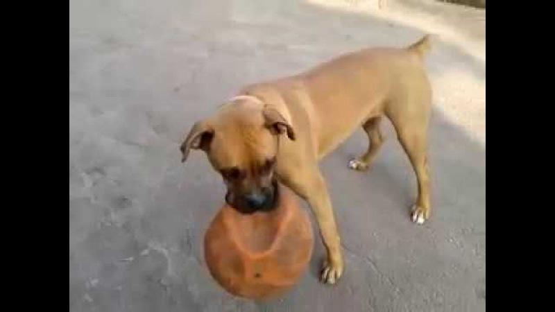 Джесси. Собака и мяч. Jessie.