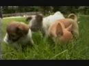 Введение в собаковедение Чихуахуа wmv