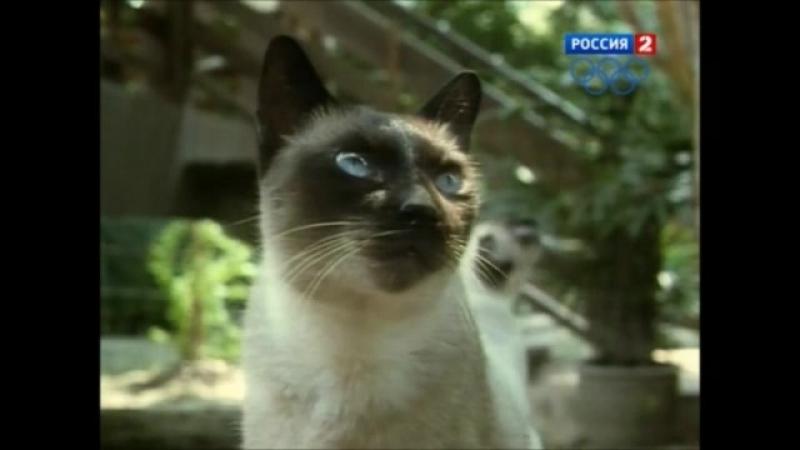 В мире животных. Сиамская кошка - обитатель королевских покоев-spyan--scscscrp
