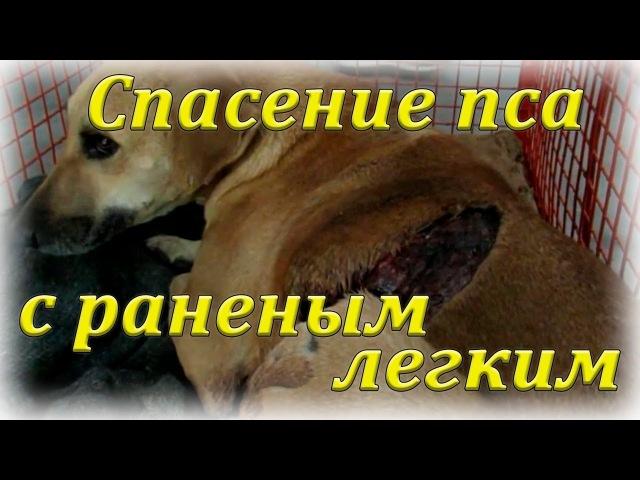 Чудесное спасение собаки с поврежденным легким ┃ Rescue dog