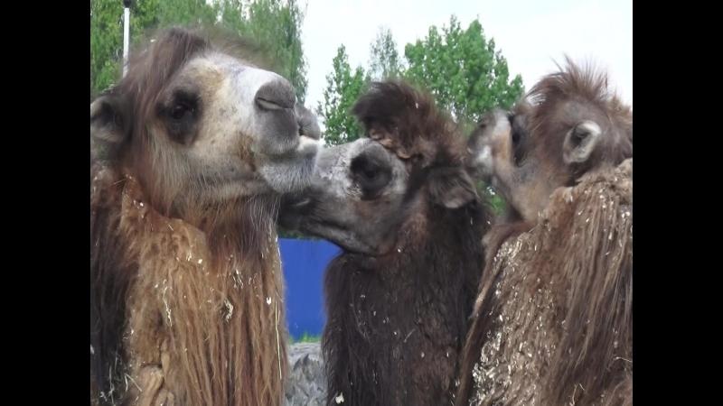 Верблюжьи нежности