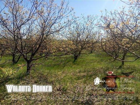Саженцы ореха Кочерженко, 0985674877, 0957351986, Walnuts Broker
