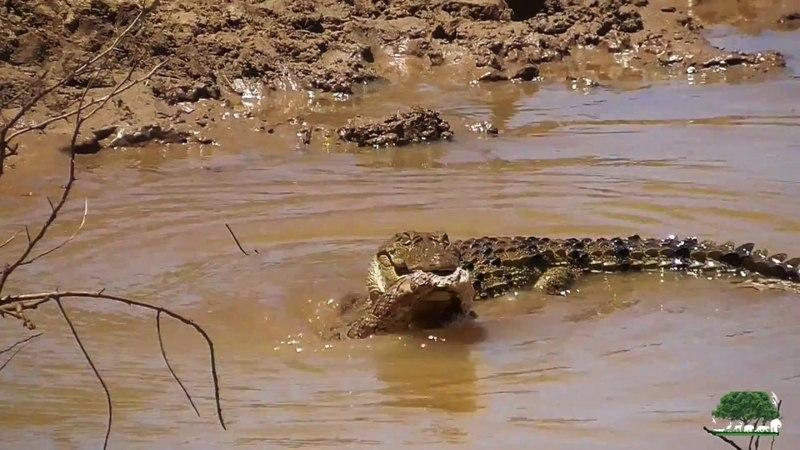 Детеныш болотного крокодила поймал цепочную гадюку
