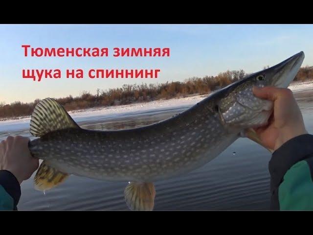 Тюменская зимняя щука на спиннинг / вся в пиявках