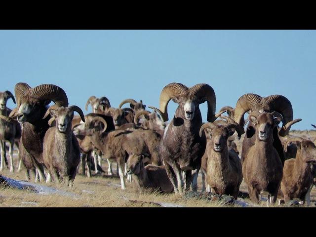 Аргали. Алтайский горный баран - самый крупный баран в мире.