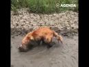 Собака купается в грязи