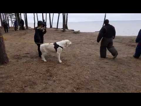 Б. Ижора 22.04.2018 г. очередная проверка рабочих качеств собаки