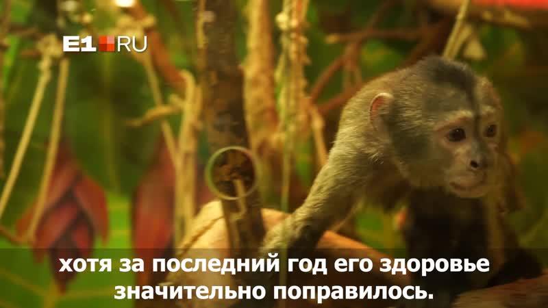 Капуцин Тимоша из Екатеринбурга еще год назад почти не мог ходить, а теперь с радостью прыгает по вольере