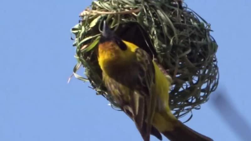 Птичка вьёт гнездо