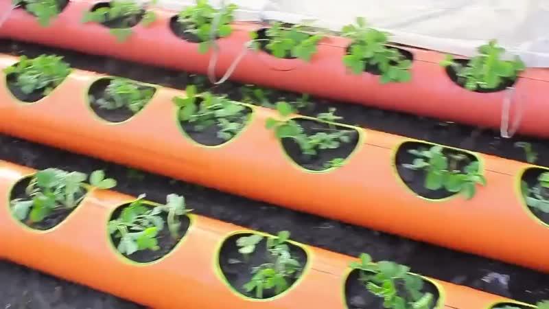 Идея для дачников - выращиваем клубнику в трубах - vk.com/my.dacha